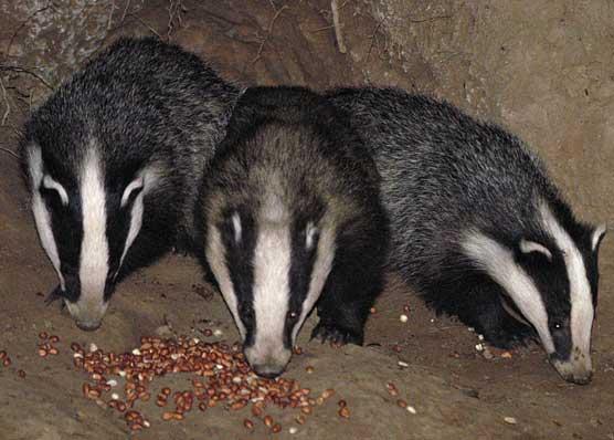 Badger Hide Visit - Adult Booking Fee